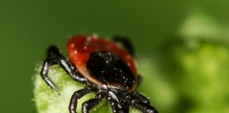 Ixodes Ricinus, a carracha común, responsable do síndrome de alfa-gal | Andy Murray - https://www.flickr.com/people/89396233@N00